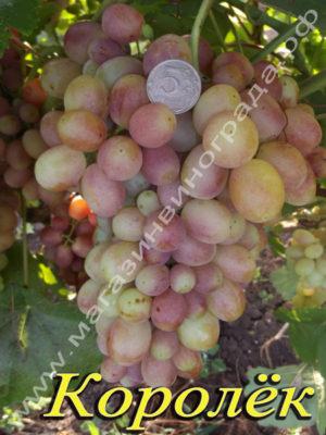 Сорт винограда Королёк