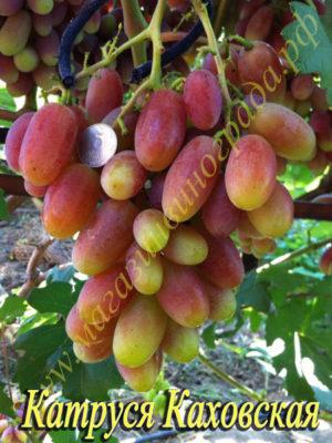 Сорт винограда Катруся-Каховская