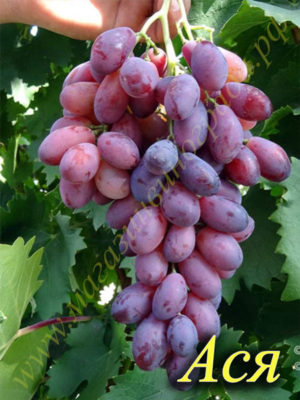 Сорт винограда Ася