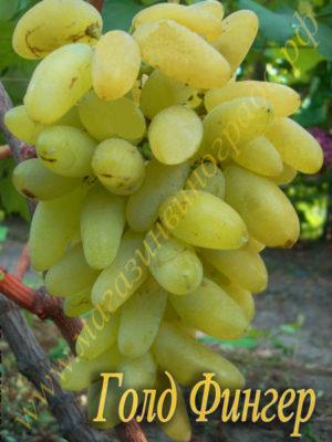 Сорт виногрпада Голд фингер