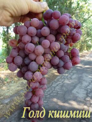 Сорт винограда Голд кишмиш