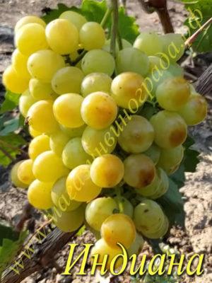 Сорт винограда Индиана