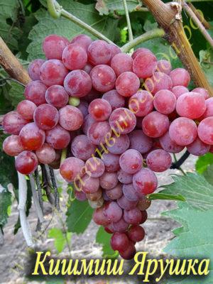 Сорт винограда Кишмиш-Ярушка