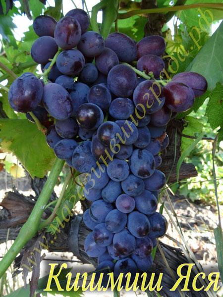 Сорт винограда Кишмиш Яся